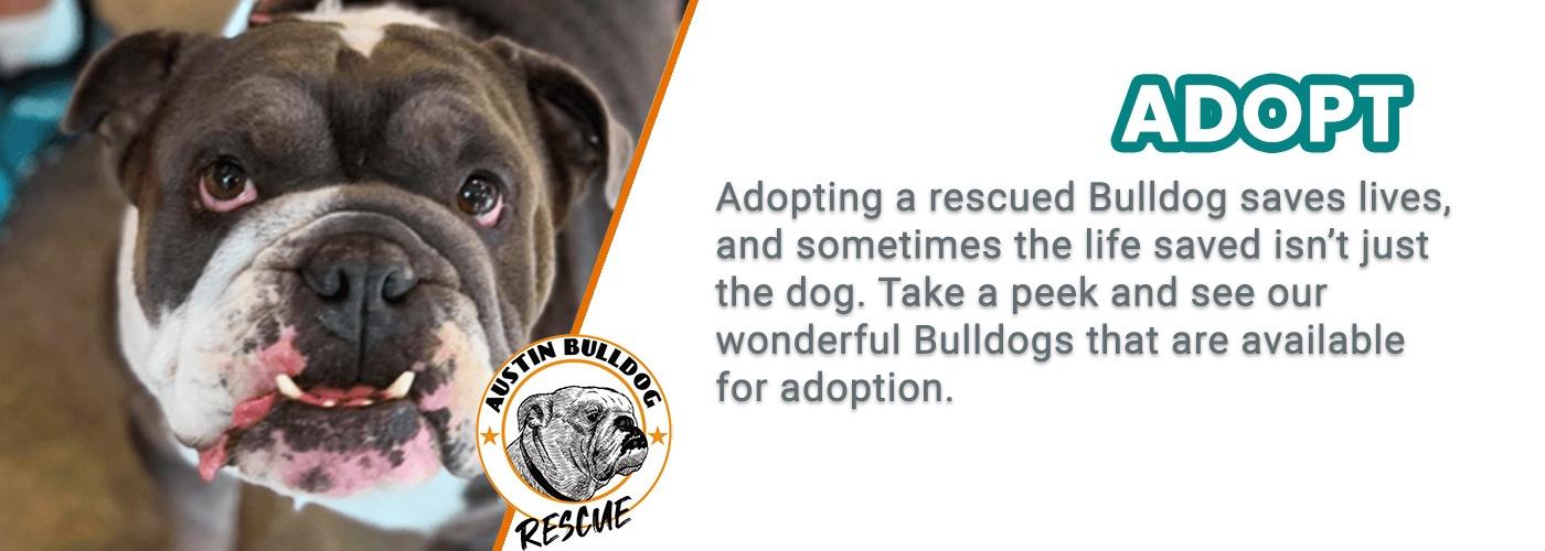 Austin Bulldog Rescue Adopt